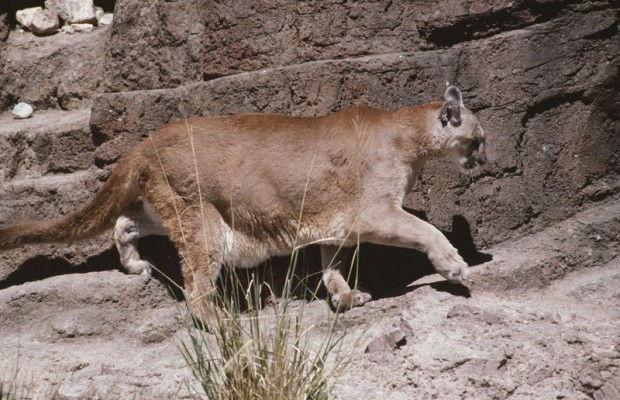 Three Mountain Lions Killed In Keystone